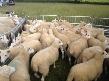 Berfield Ewe lambs